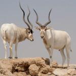 Addax Antelope / Addax nasomaculatus