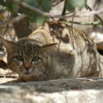 African Wildcat / Felis silvestris