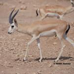 Arabian Goitered Gazelle / Rheem Gazelle / Gazella subgutturosa marica