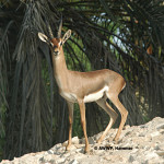 Arabian Mountain Gazelle / Idmi Gazelle / Gazella gazella