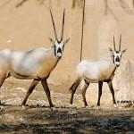 Arabian Oryx / Oryx leucoryx