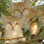 Arabian Sandcat / Felis margarita harrisoni