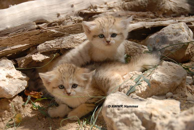 Al Wabra Wildlife Preservation Arabian Sandcat