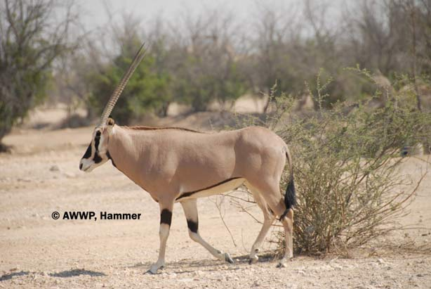Adult_Male_Beisa_Oryx_01