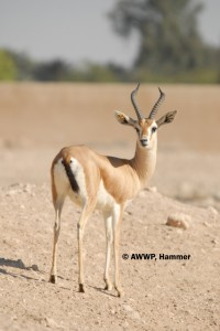 Adult_Male_Dorcas_Gazelle_01