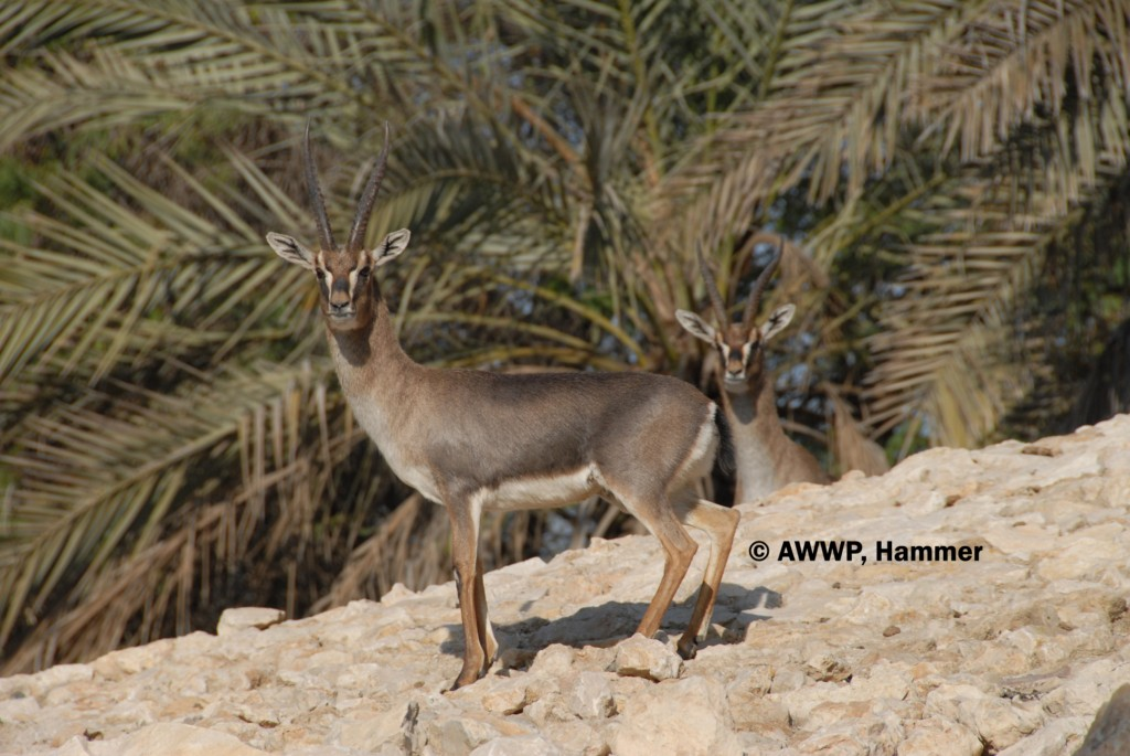 Adult_Male_Erlangers_Gazelles_01