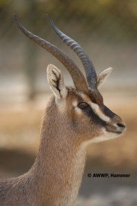 Adult_Male_Erlangers_Gazelles_02