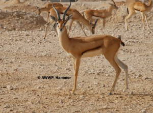 Adult_Male_Redfronted_Gazelle_01