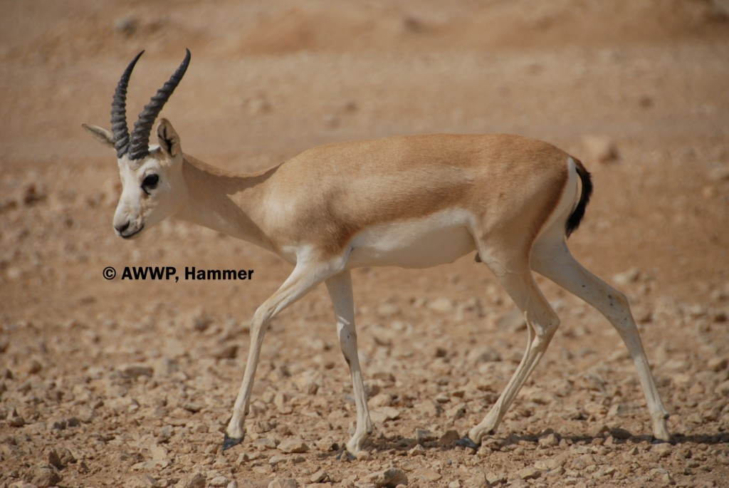 Adult_Male_Rheem_Gazelle_01