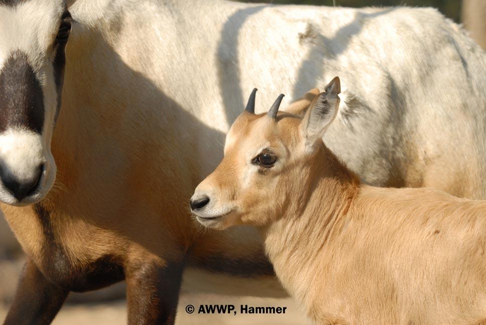 Arabian_Oryx_Calf_01