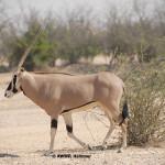 Beisa Oryx / Oryx beisa