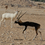 Blackbuck / Antilope cervicapra