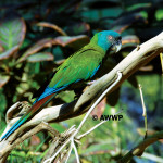 Blue-headed Macaw / Primolius couloni