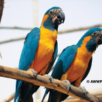 Blue-throated Macaw / Ara glaucogularis