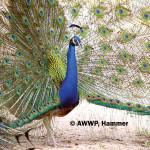Blue Peafowl / Pavo cristatus