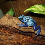 Blue Poison Arrow Frog / Dendrobates azureus