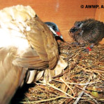 Breeding Success in the Blue-Headed Quail Dove