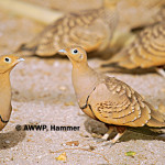 Chestnust-bellied Sandgrouse / Pterocles exustus ellioti