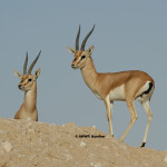 Chinkara Gazelle / Indian Gazelle / Gazella bennettii