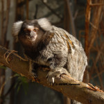 Common Marmoset / Callithrix jacchus