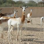 Dama Gazelle / Gazella dama ruficollis