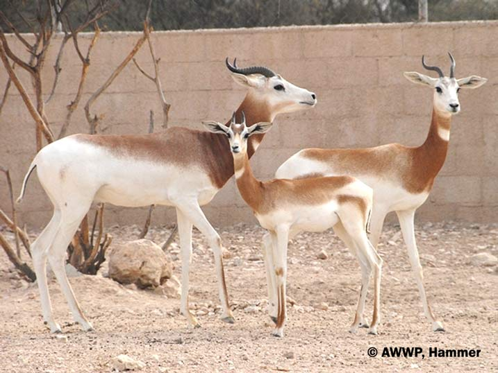 DAMA_GAZELLE_Group_Gazella_dama_ruficollis_01