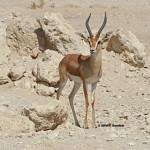 Dorcas Gazelle / Gazella dorcas isabella