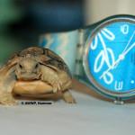 Egyptian Tortoise / Testudo kleinmanni