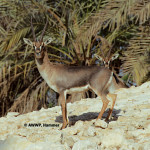 Erlangers Gazelle / Gazella gazella erlangeri