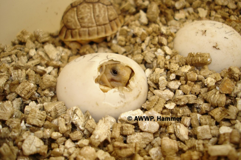 Egyptian_Tortoise_Hatching_02