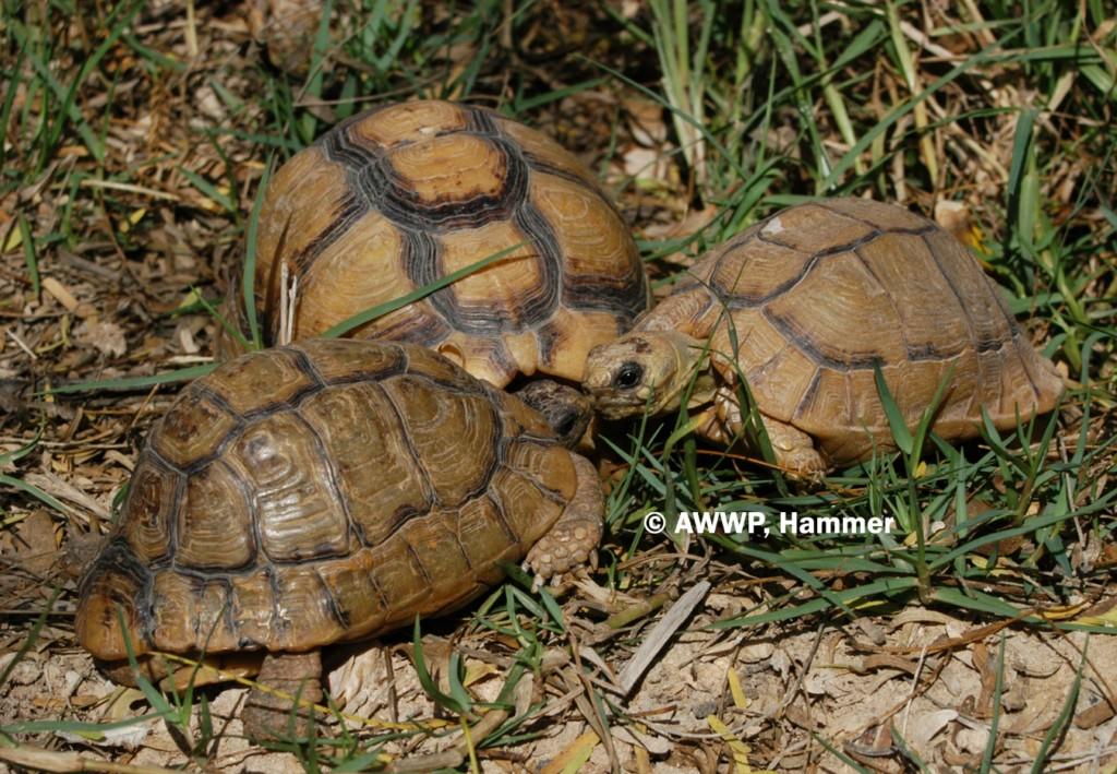 Egyptian_Tortoises_01