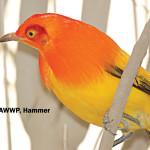 Flame Bowerbird / Sericulus ardens