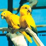 Golden Conure / Guaruba guarouba