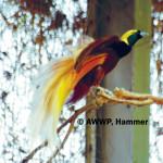 Greater Bird of Paradise / Paradisaea apoda