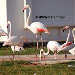 Greater Flamingo / Phoenicopterus ruber roseus