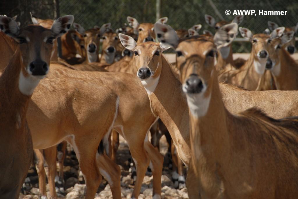 Group_Nilgai_Antelopes_01