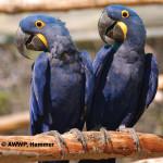 Hyacinth Macaw / Anodorhynchus hyacinthinus