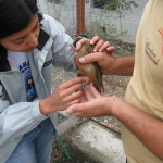 Health Check of Blue Headed Quail Dove, Cuba (Dr. Amrita) 02