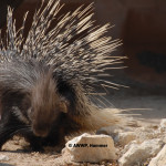 Indian Porcupine / Hystrix indica