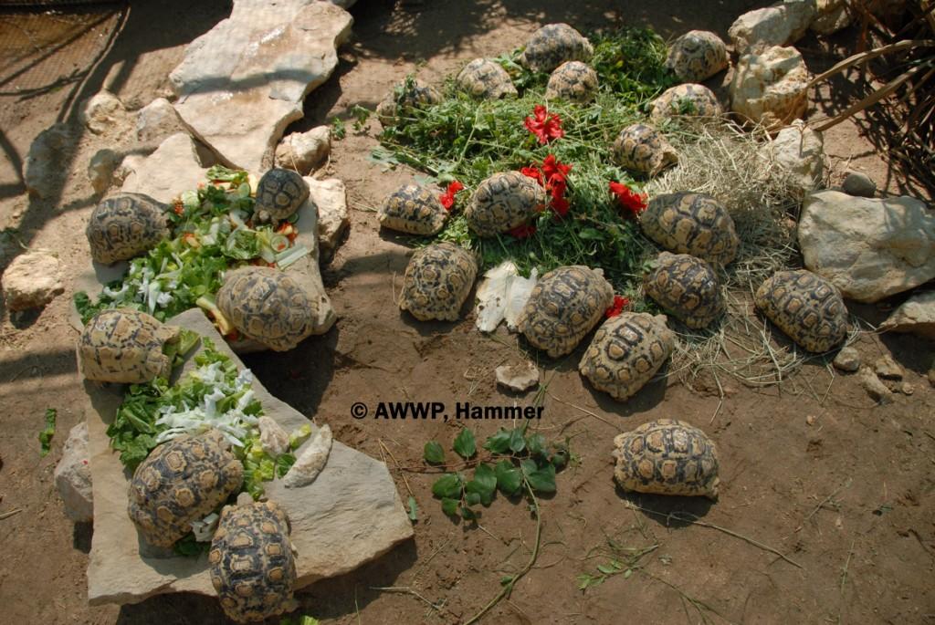 Juvenile_Leopard_Tortoises_01