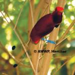 King Bird of Paradise / Cicinnurus regius