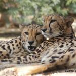 King Cheetah / Acinonyx jubatus