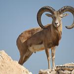 Laristan Sheep / Ovis orientalis laristanica