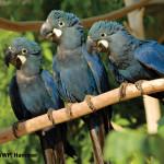 Lear's Macaw / Anodorhynchus leari