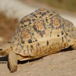 Leopard Tortoise / Geochelone pardalis