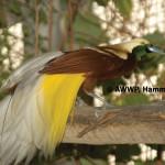 Lesser Bird of Paradise / Paradisaea minor