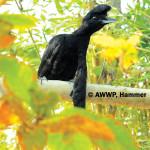 Long-wattled Umbrellabird / Cephalopterus penduliger