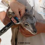 Laristan Mouflon Newborn Ear Tagging