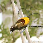 Magnificent Bird of Paradise / Cicinnurus magnificus chrysopterus