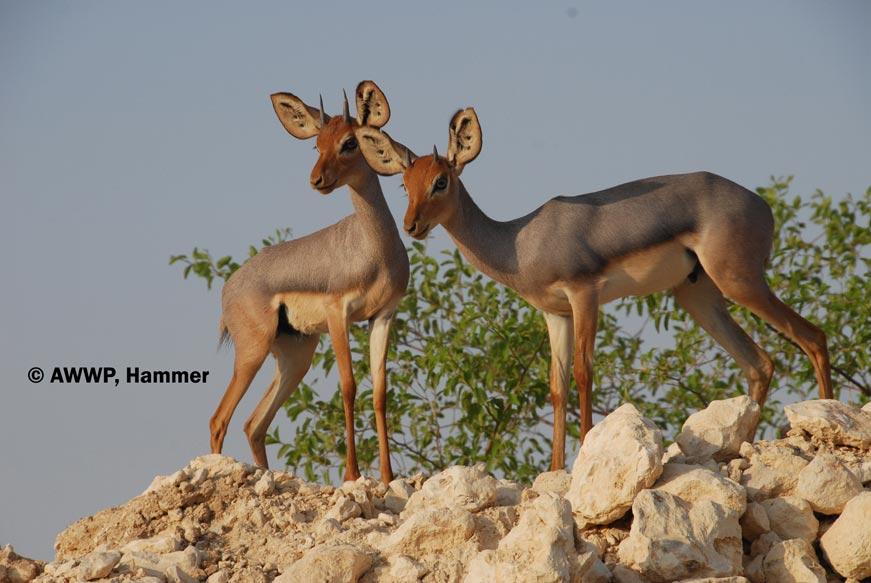 http://awwp.alwabra.com/wp-content/uploads/2014/04/Male_Beira_Antelopes_01.jpg